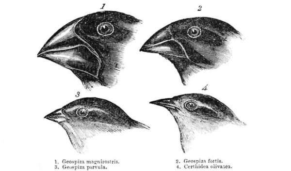 Finches drawing during hms Beagle