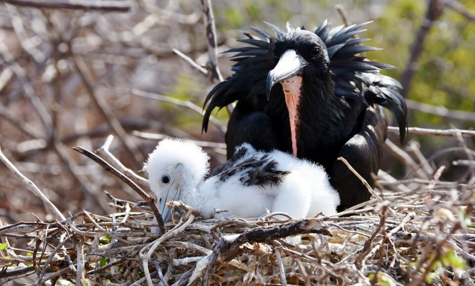 Galapagos frigatebird and its chick