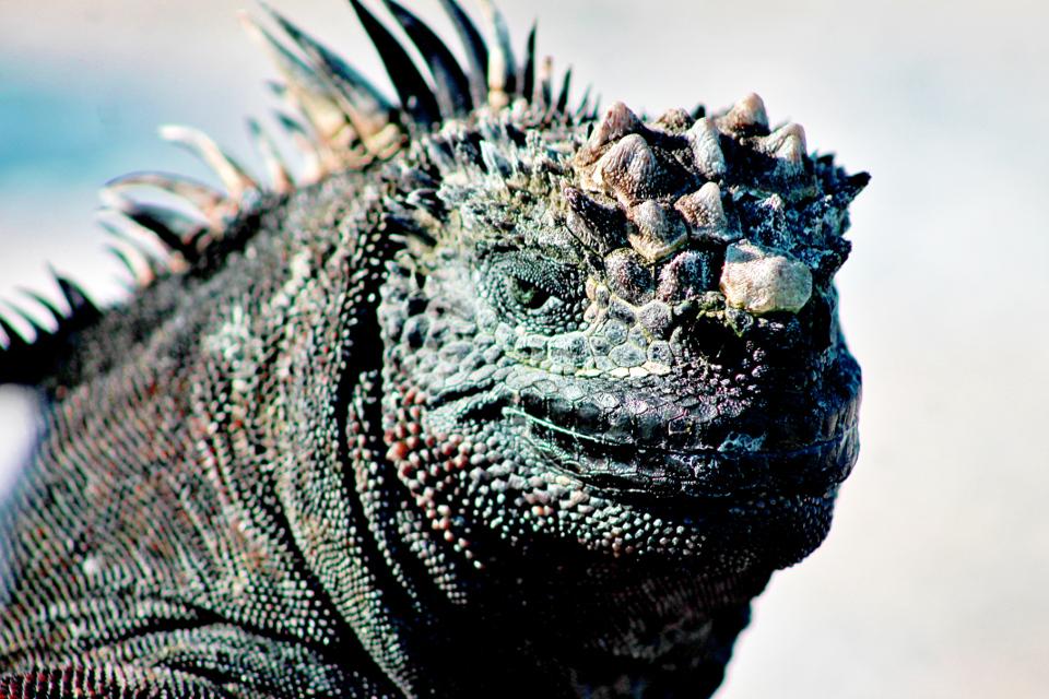 A Galapagos marine iguana basking under the sun.