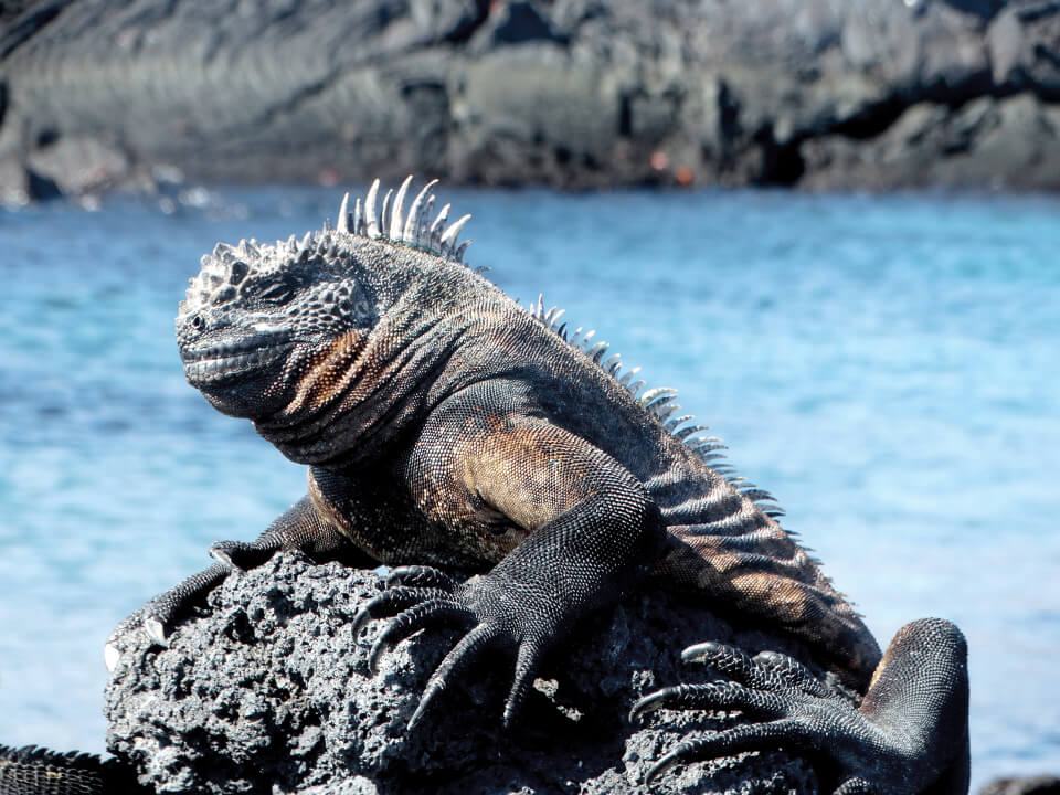 The Galapagos marine iguana is an example of evolution and adaptation.