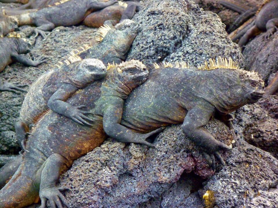 Galapagos marine iguenas resting on lava rocks.