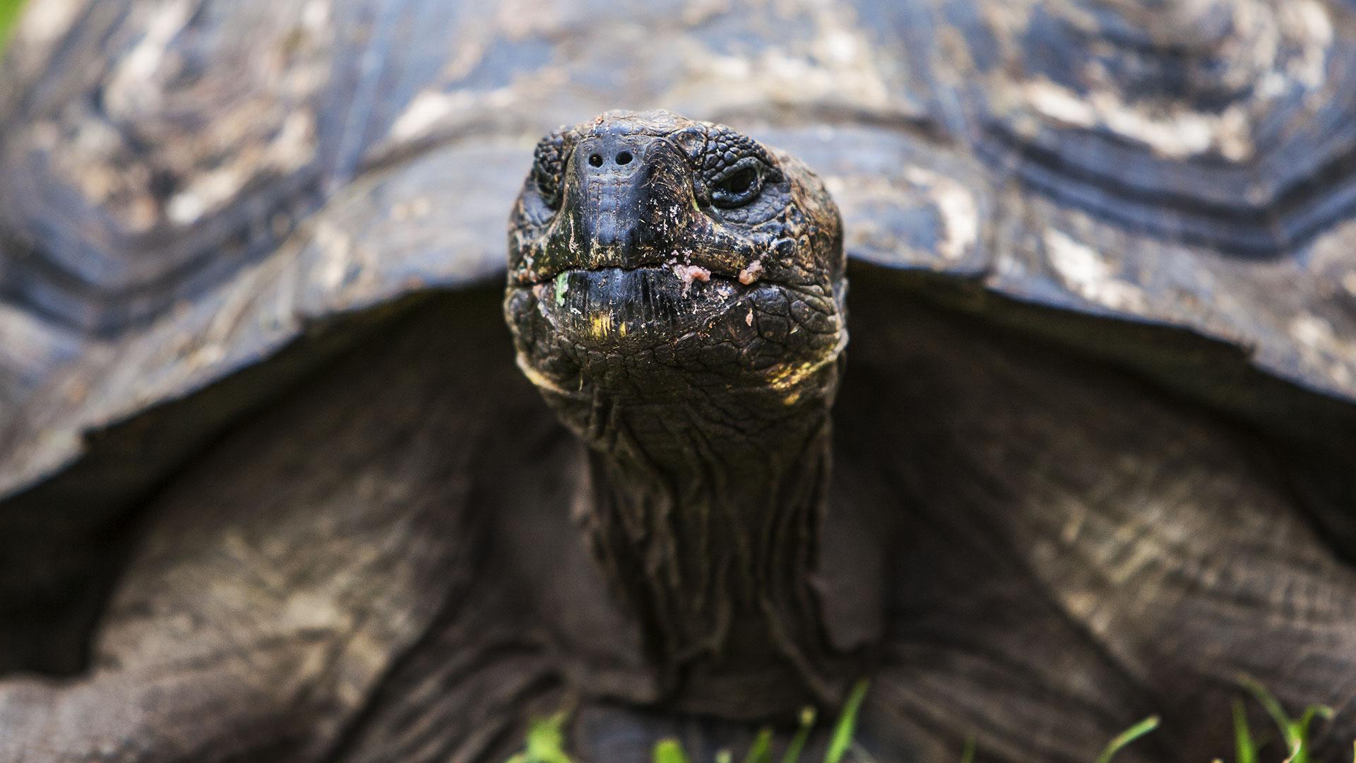 Galapagos Giant Tortoise in Santa Cruz Island - Galpagos
