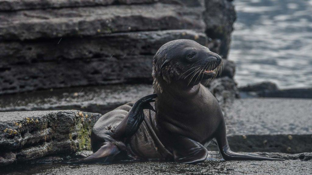 Lobo marino de Galápagos en el lado occidental de Isabela