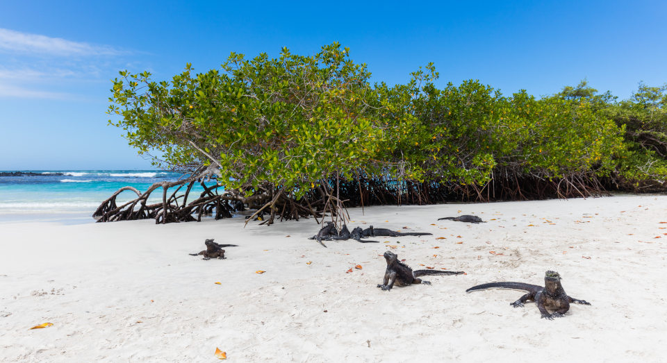 Marine Iguanas at Tortuga Bay in the Galapagos Islands