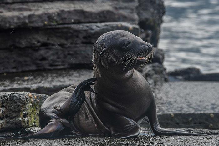 Cachorro de león marino en la Isla Santa Cruz