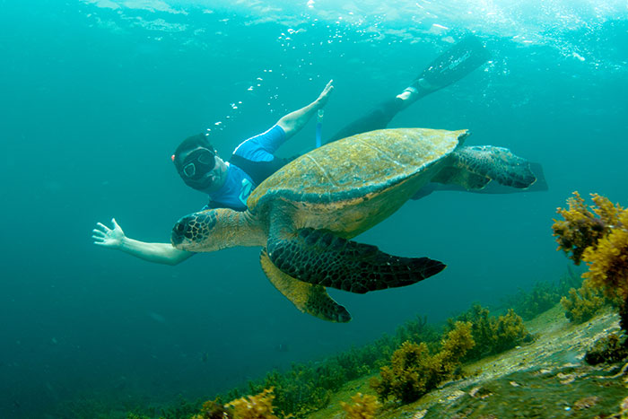 Snorkeling with green turtles in Galapagos.