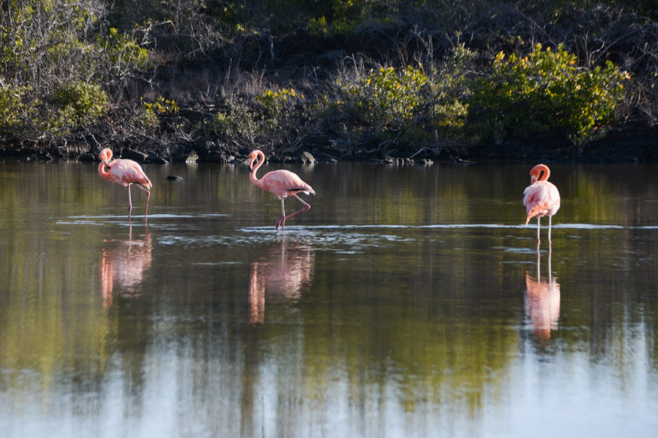 American Flamingos at Las Bachas Beach in the Galapagos