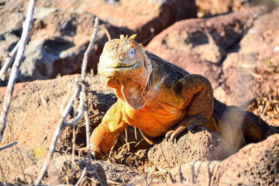 Iguana terrestre en las Islas Galápagos