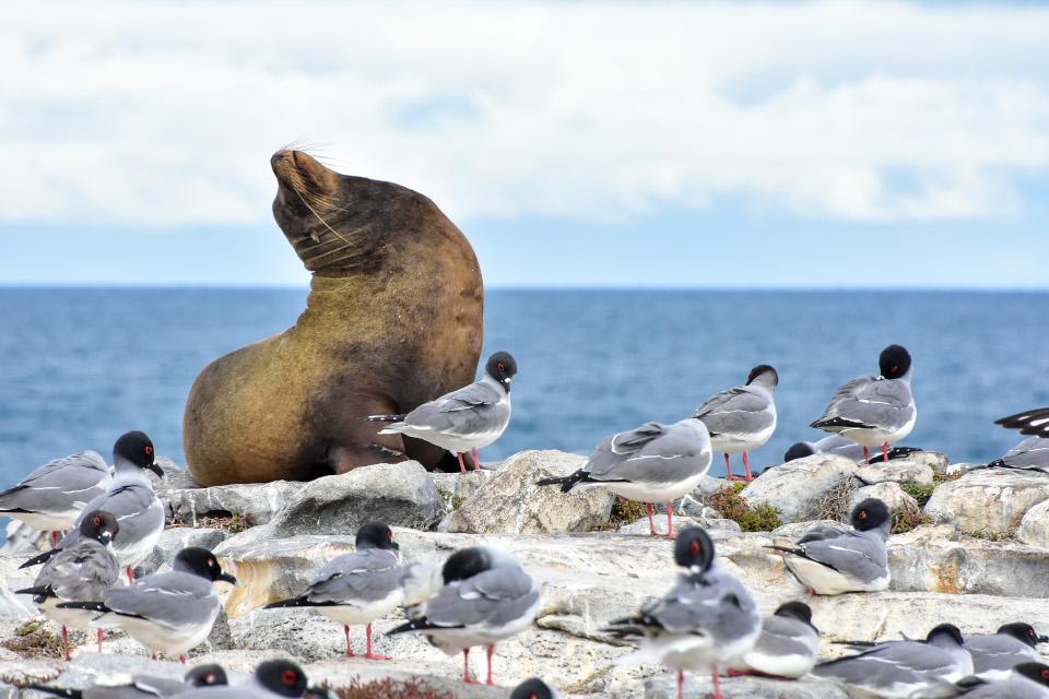 Colonia de lobos marinos solteros en la Isla Plaza Sur en Galápagos