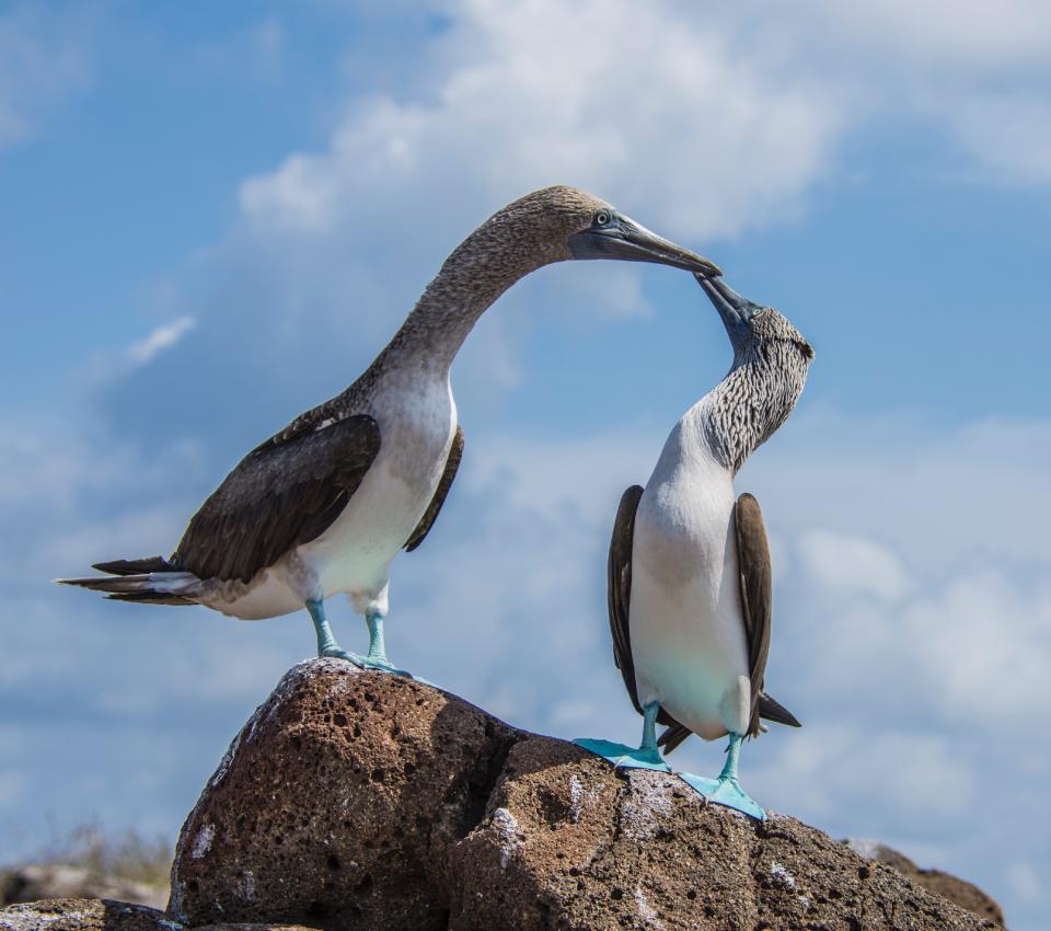 Piqueros de patas azules en la Isla Plaza Sur, Galápagos