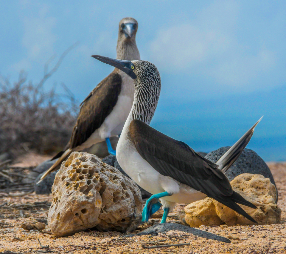 Blue-footed booby on Bartholomew Island, Galapagos
