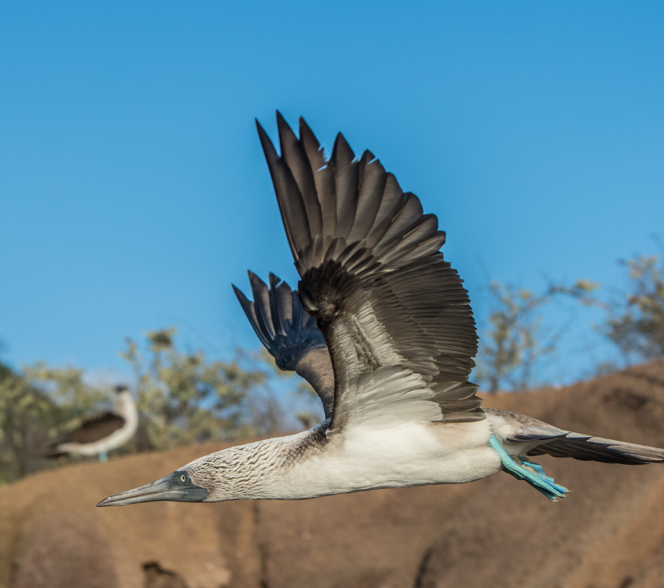 Blue Footed Booby in Santa Fe Island, Galapagos