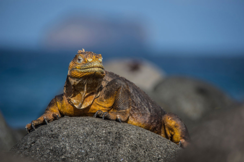 Galapagos land iguana spotted at South Plaza Island