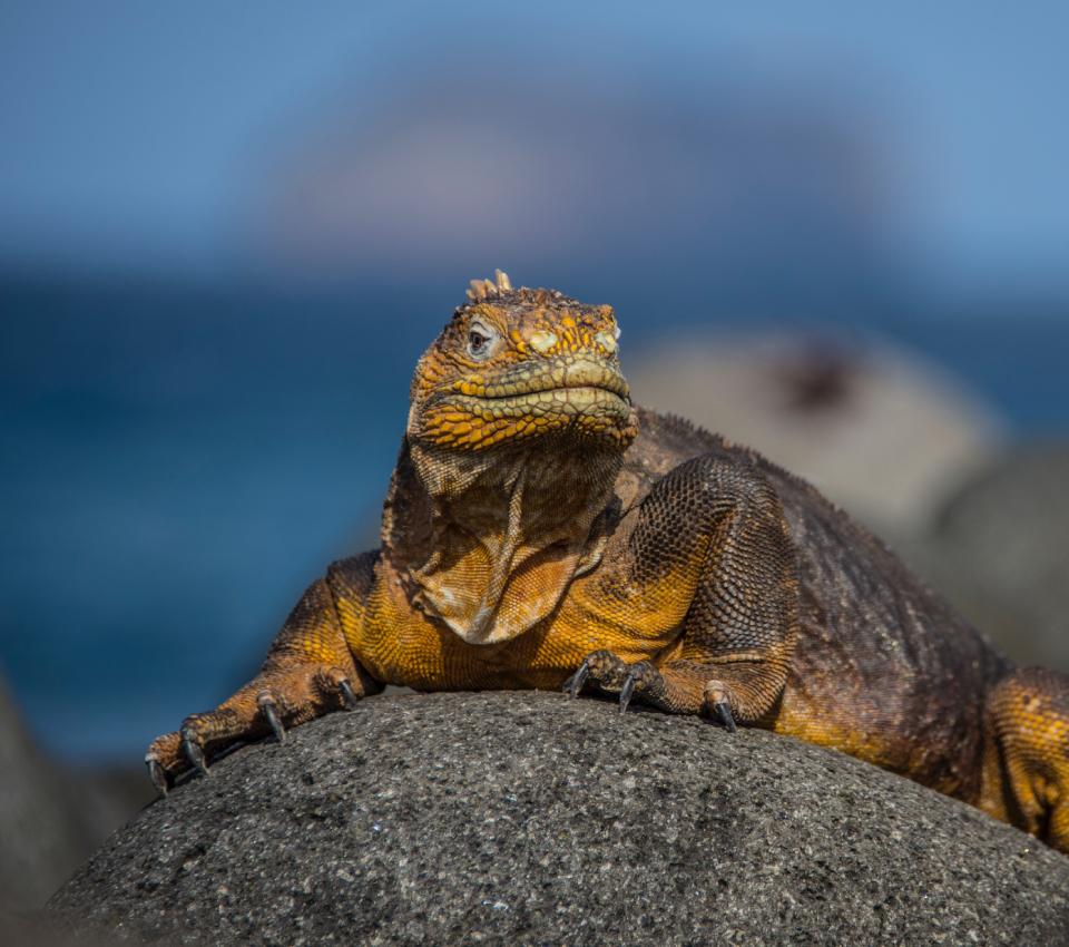 Iguana terrestre de Galápagos en la Isla Plaza Sur