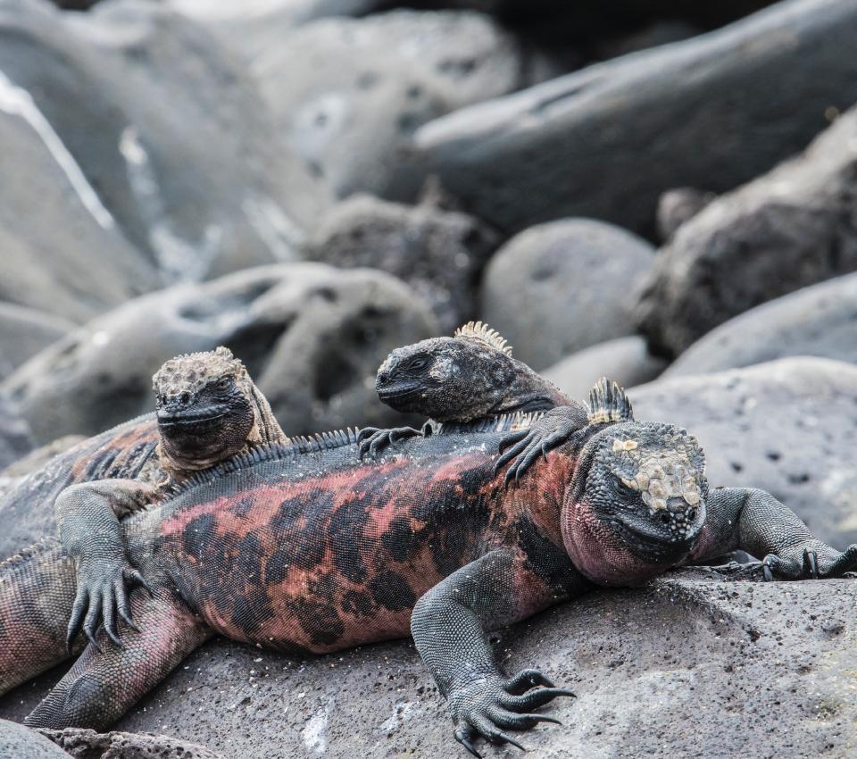 Iguana Marina en la Isla Seymour Norte en Galápagos