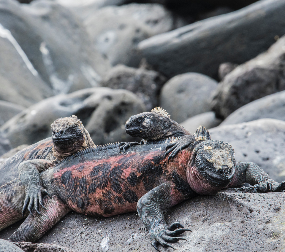 Marine Iguana in North Seymour Island, Galapagos