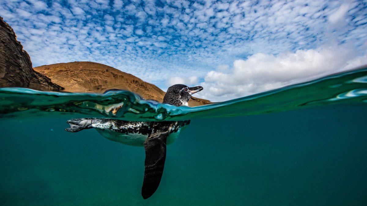 Penguin at Bartolome Island