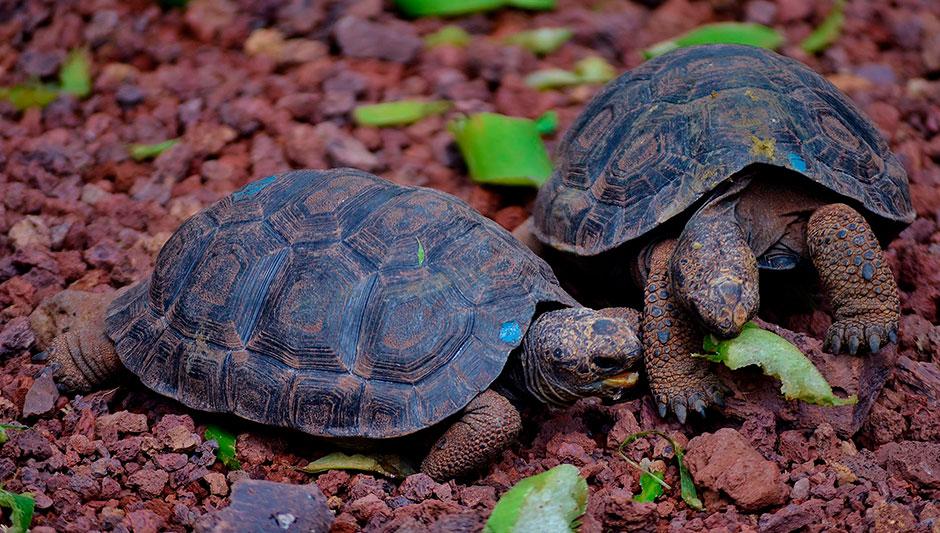 giant-tortoises-galapagos-charles-darwin-station.jpg
