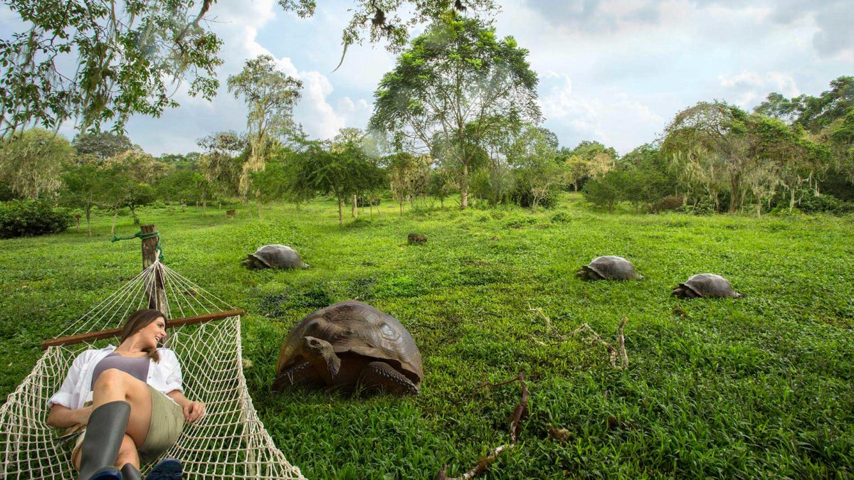 Giant tortoises at Santa Cruz highlands