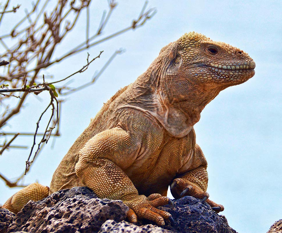 Santa Fe Land Iguana is an endemic species of the Galapagos Islands.