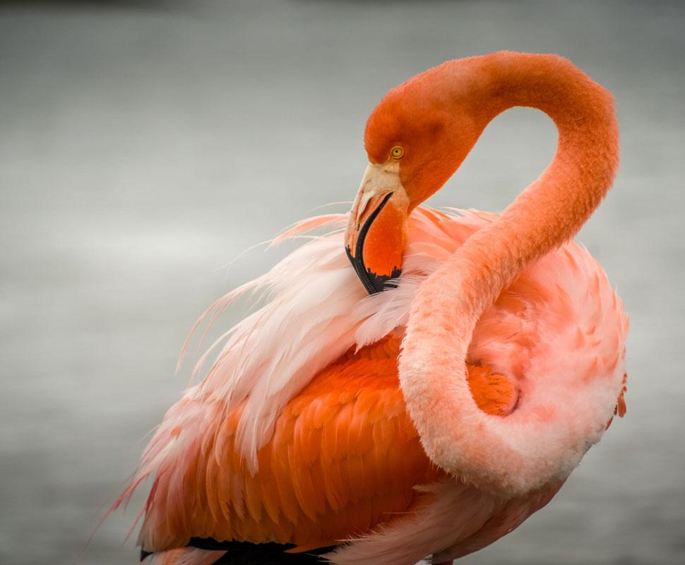 American Flamingo in Las Bachas, Galapagos Islands