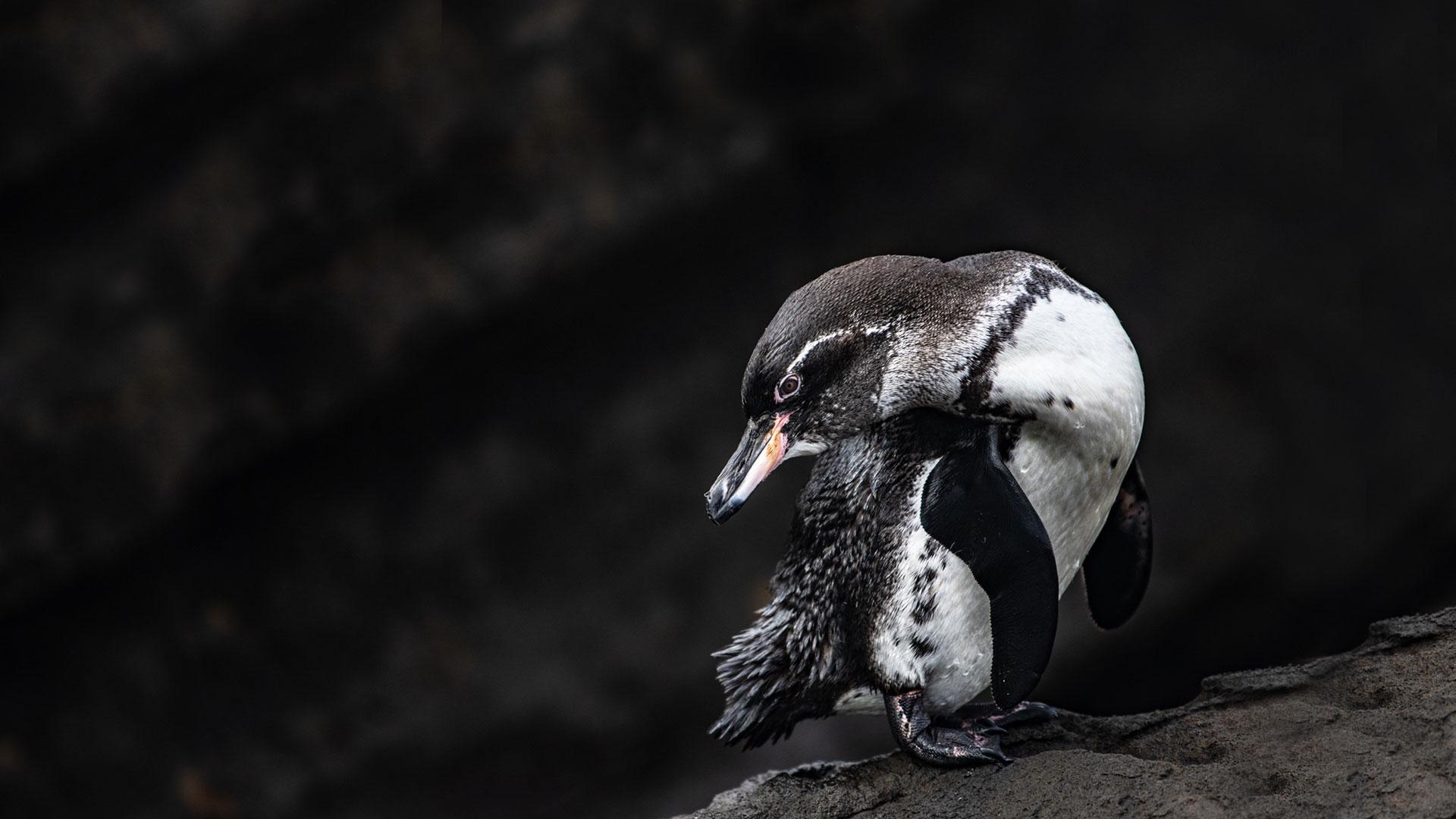 Pingüinos en la Isla Galápagos, animales exóticos miembros de la lista BIG15