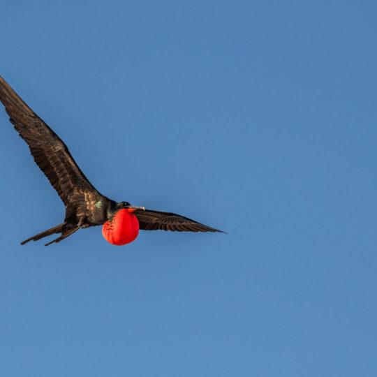 Frigatebirds in flight big 15