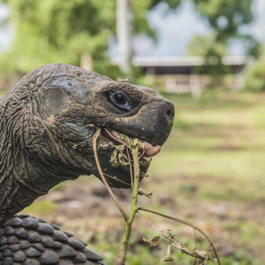 Galapagos Giant Tortoise big 15