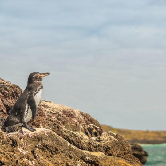 Galapagos penguin big 15