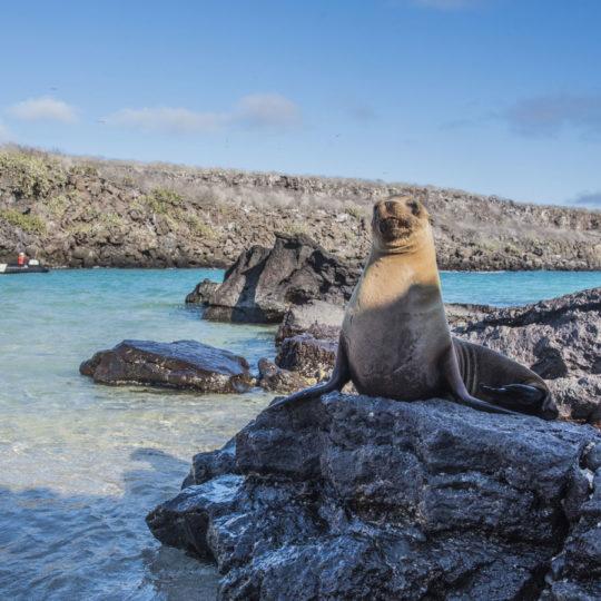 Galapagos Sea Lion big 15