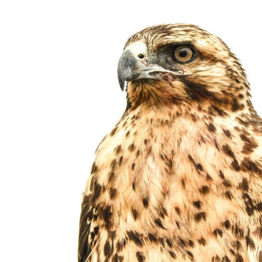 Galapagos Hawk big 15