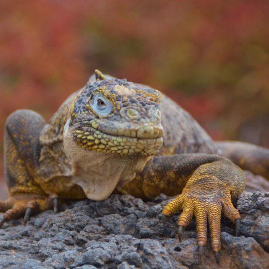 Land Iguana Big 15