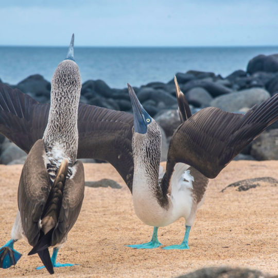 Two Blue footed boobies in the Galapagos Islands