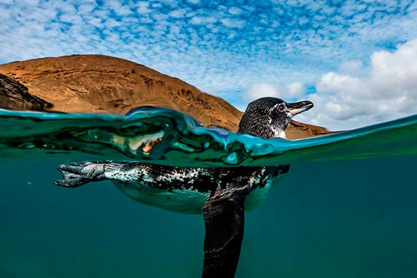 Galapagos penguin swimming in Bartolome Island, Galapagos