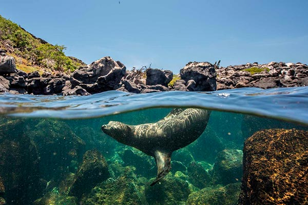 Sea Lion swimming at North Seymour Island